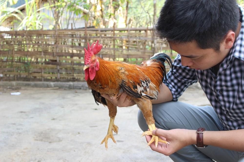 nuôi gà 9 cựa