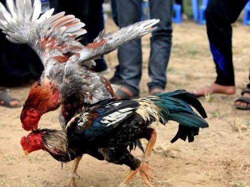 cách huấn luyện gà chọi con