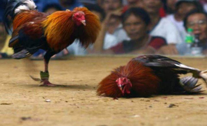 trị tan máu bầm cho gà