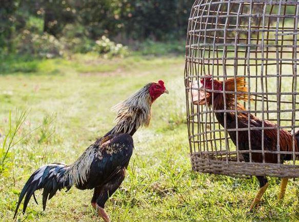 Cách chọn gà chọi chuẩn không cần chỉnh