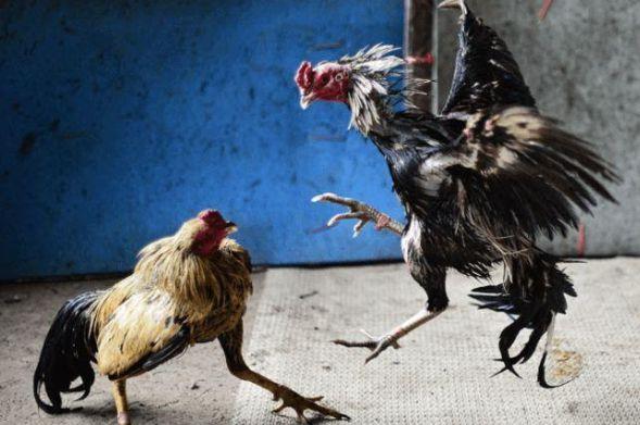 Cách chọn gà chọi hay dân chơi đá gà phải biết